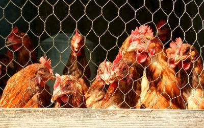 How to Care for and Keep Chickens